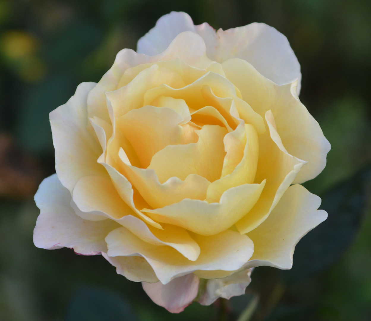 Winter-Rose