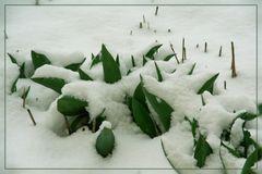 Winter-Tulpen