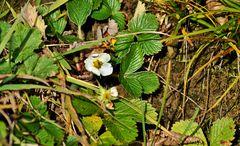*Winteranfang 2014* --- ha-ha --- Blühende Erdbeere
