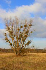 Winterbaum mit Mistel