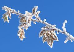 Winterblatt