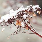 Winterblümchen