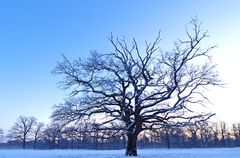 Wintereiche...