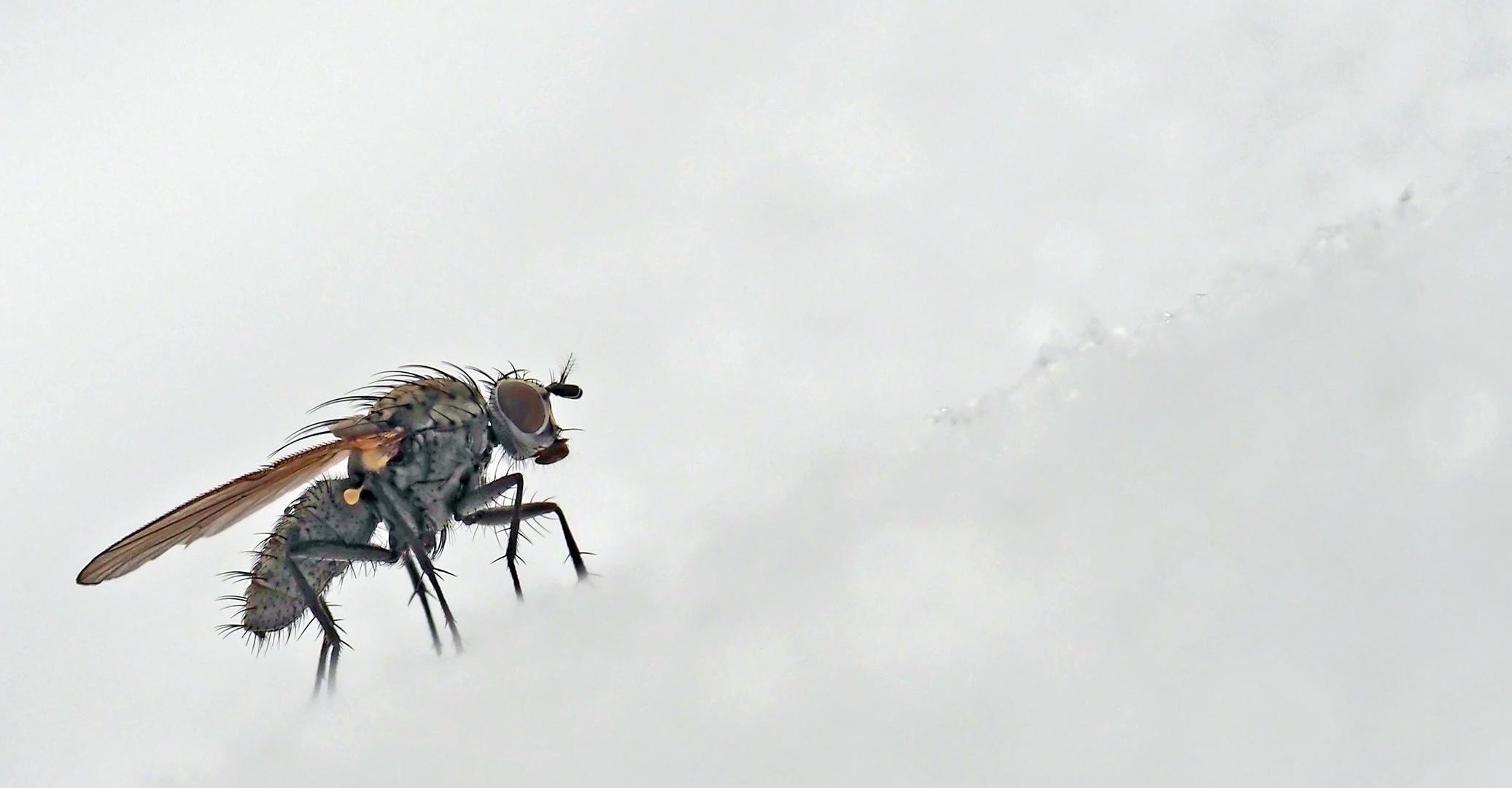 Winterfreuden einer Fliege... - La joie de vivre d'une mouche.