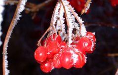 Winterfrüchte (Nebel, Frost, Niederrhein)