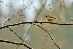 Wintergoldhähnchen ( Regulus regulus )