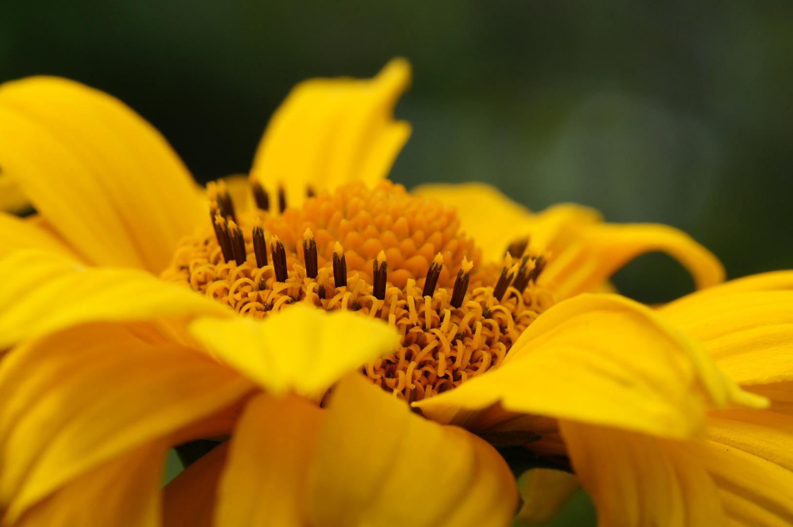 Winterharte Sonnenblume-3-