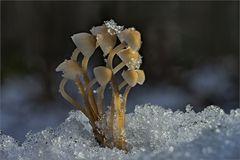 Winterhelmlinge ...