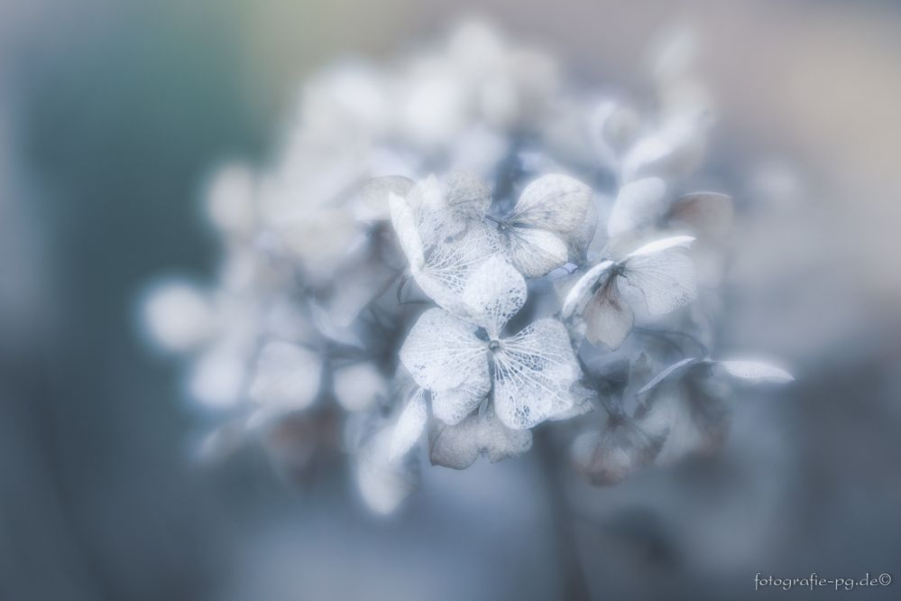... Winterhortensie ...