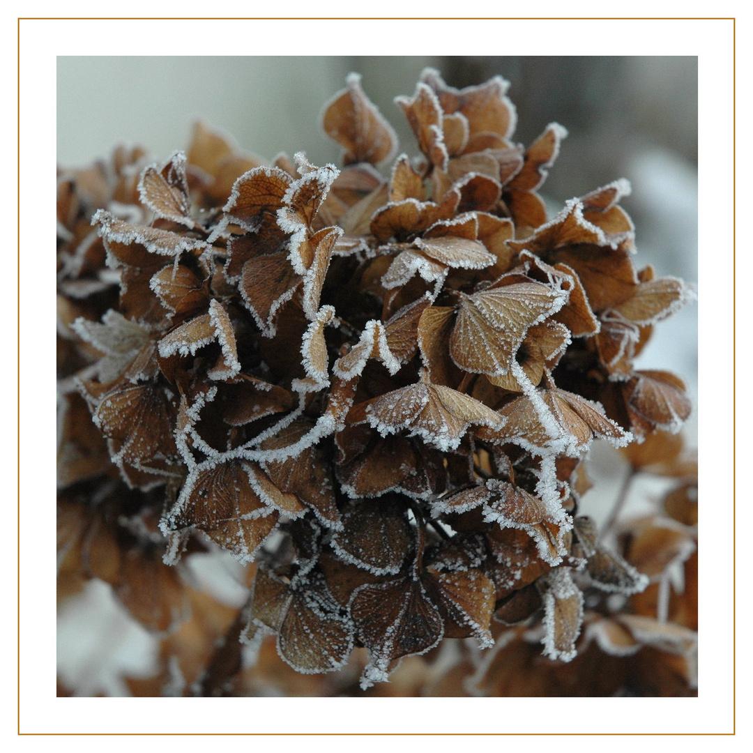 Winterhortensie