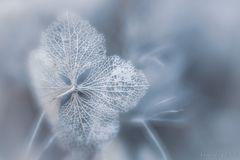 ... Winterhortensie II ...