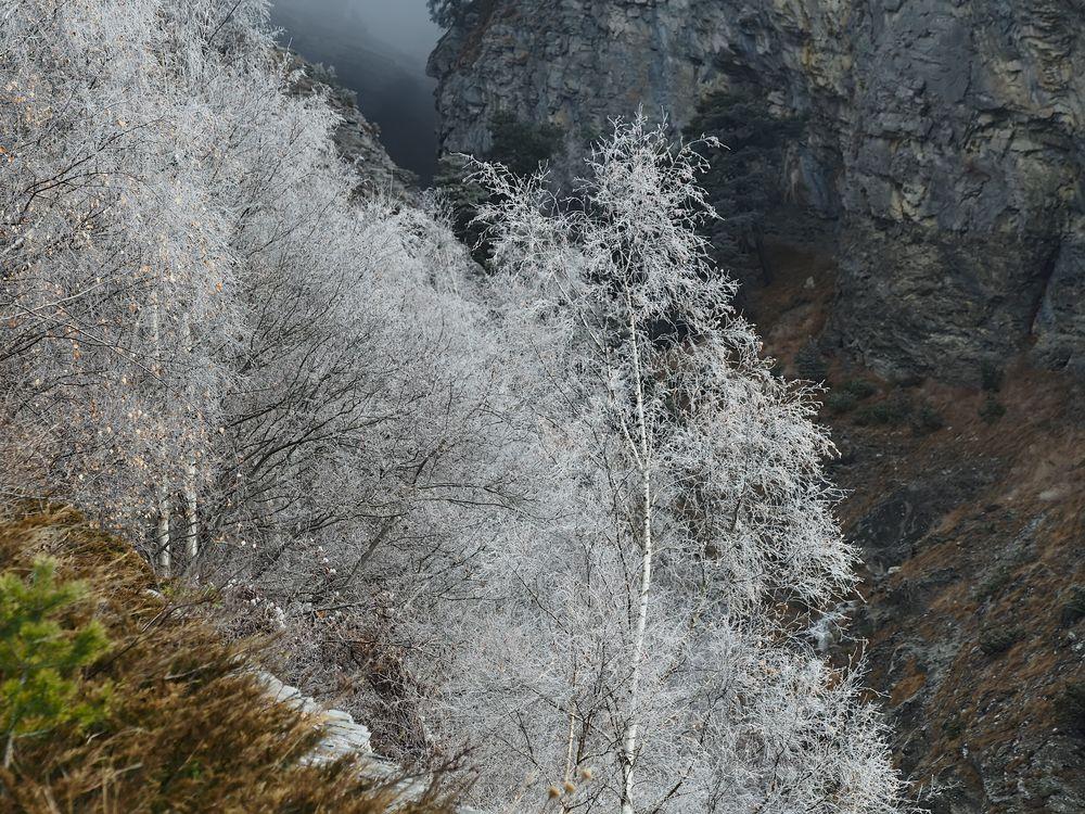 Winterliche Birkengruppe in der Bergen! - Des bouleaux givrés à la montagnes!