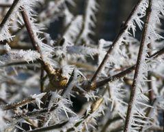 Winterliche Dornenhecke