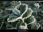 winterlicher Lorbeer