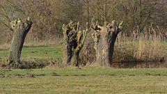 Winterlicher radikaler Baumbeschnitt im NSG Am Tibaum.
