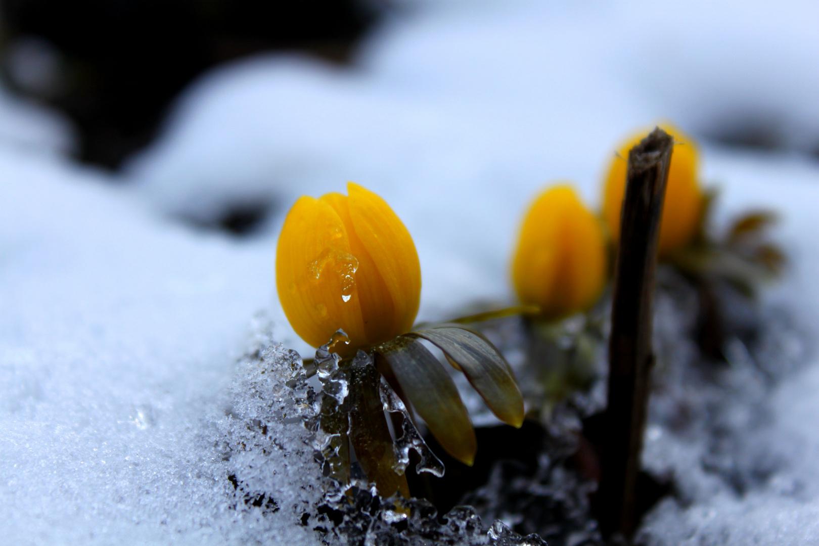 Winterling im Aufbruch