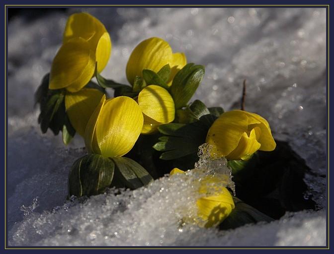 Winterlinge