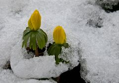 Winterlinge im ersten Schnee!