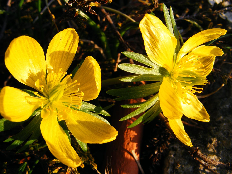 Winterlinge im Frühling