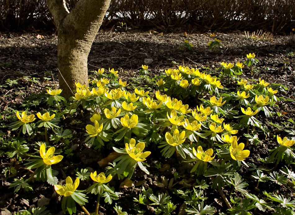 Winterlinge in voller Blüte!
