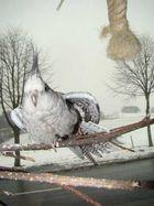 Winterperlchen