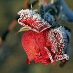 Winterröschen