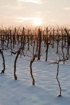 Winterschlaf in den Weingärten