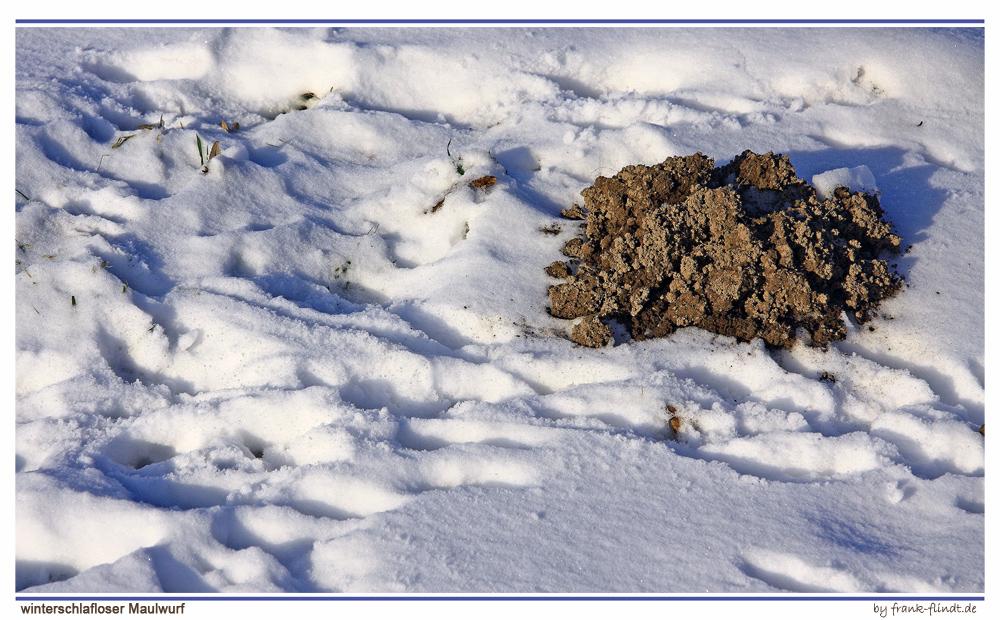 winterschlafloser Maulwurf....