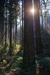 Wintersonne im Nadelwald