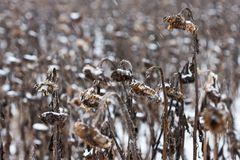 Wintersonnenblumen