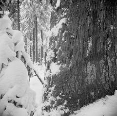 Winterwald III - mit Moos an Weißtanne
