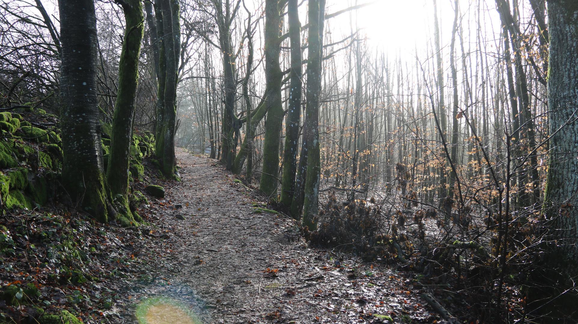 Winterwald ohne Winter