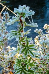 Winterzauber - eine Pflanze an meinem Teich