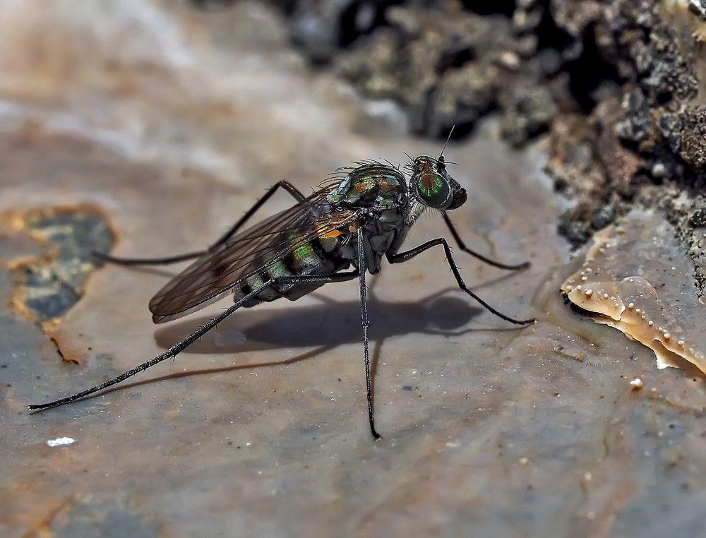 Winzige, aber unerwartet hübsche Fliege, eine Langbeinfliege, ev. Liancalus virens. *