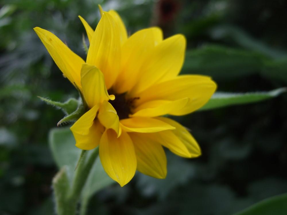 winzige Sonnenblume
