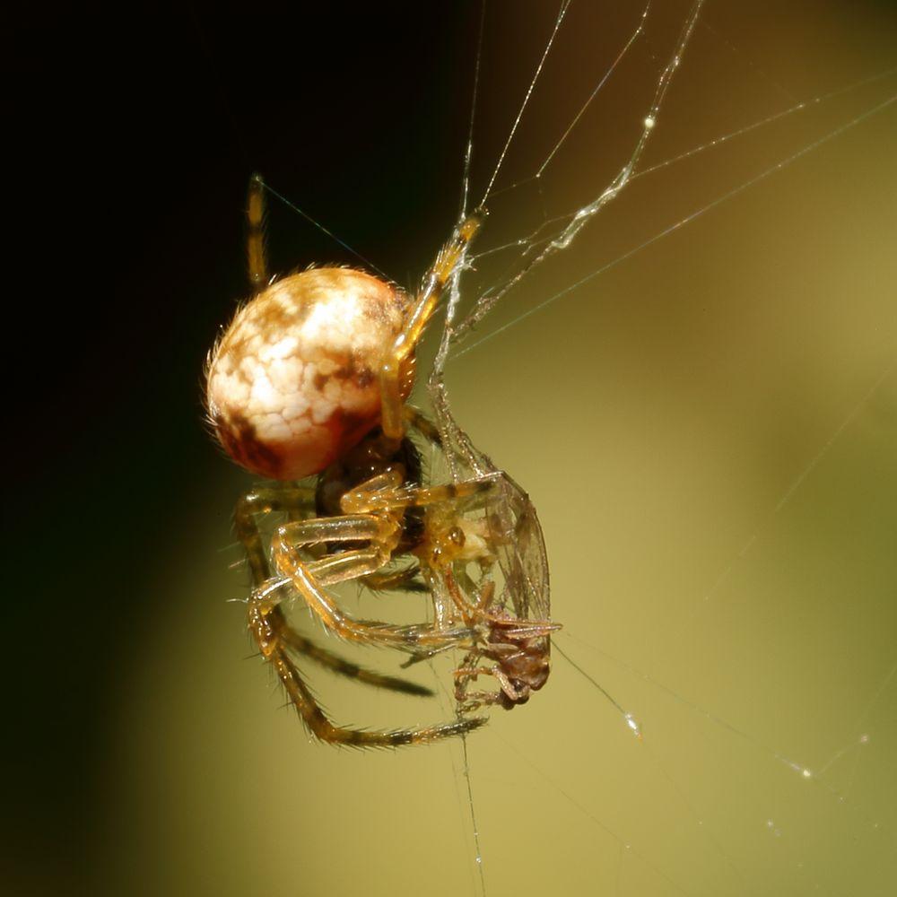 Winzige Spinne (I)