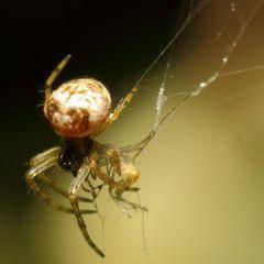 Winzige Spinne (II)