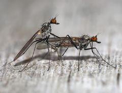 Mücken Schnaken