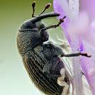 Winziger Rüsselkäfer ca. 1 - 2 mm gross