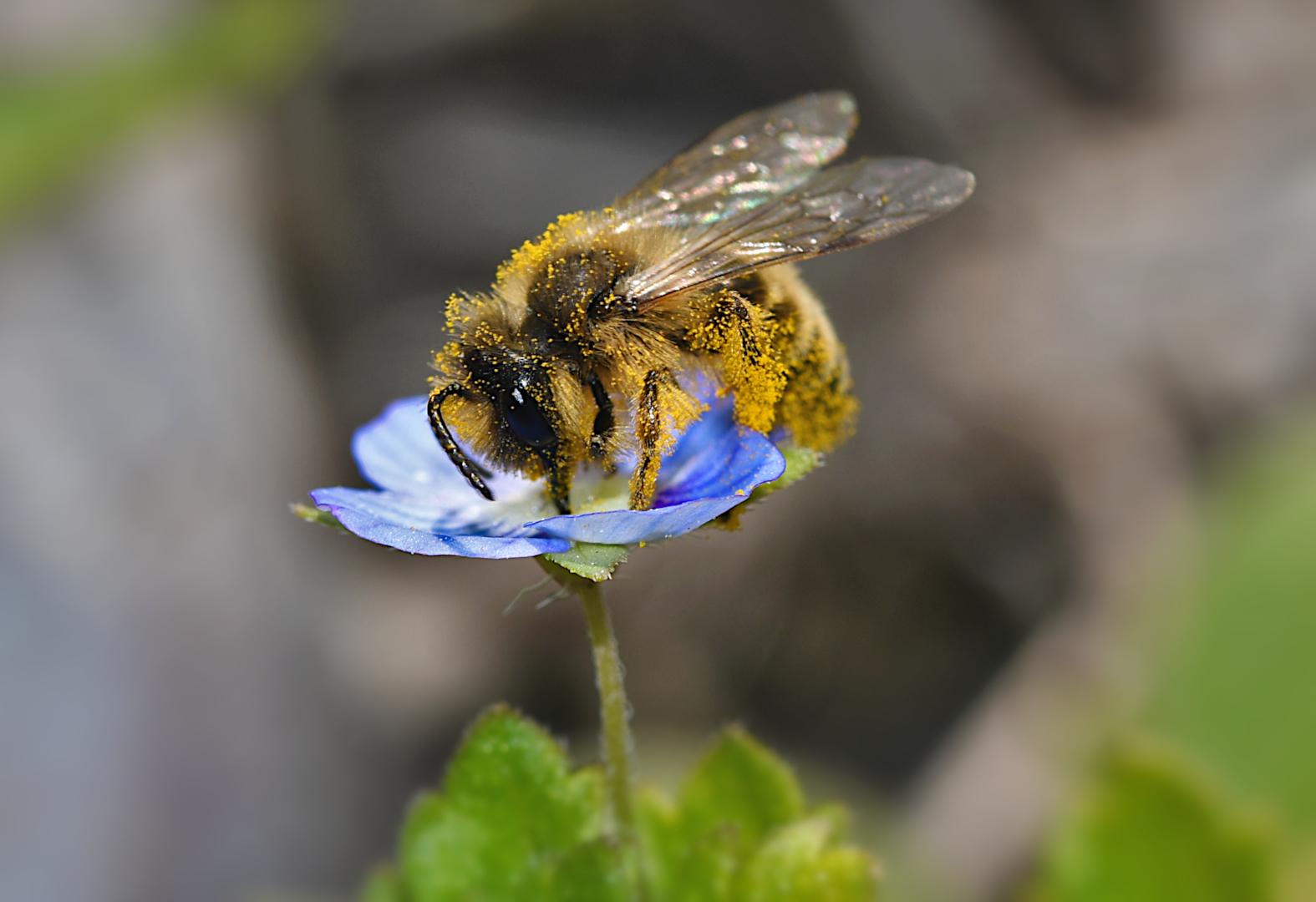 Winziges Bienchen trifft auf Persischen Ehrenpreis...
