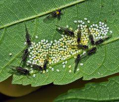 Winzlinge: Blattläuse (Periphyllus aceris)