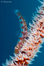 Wipe coral goby
