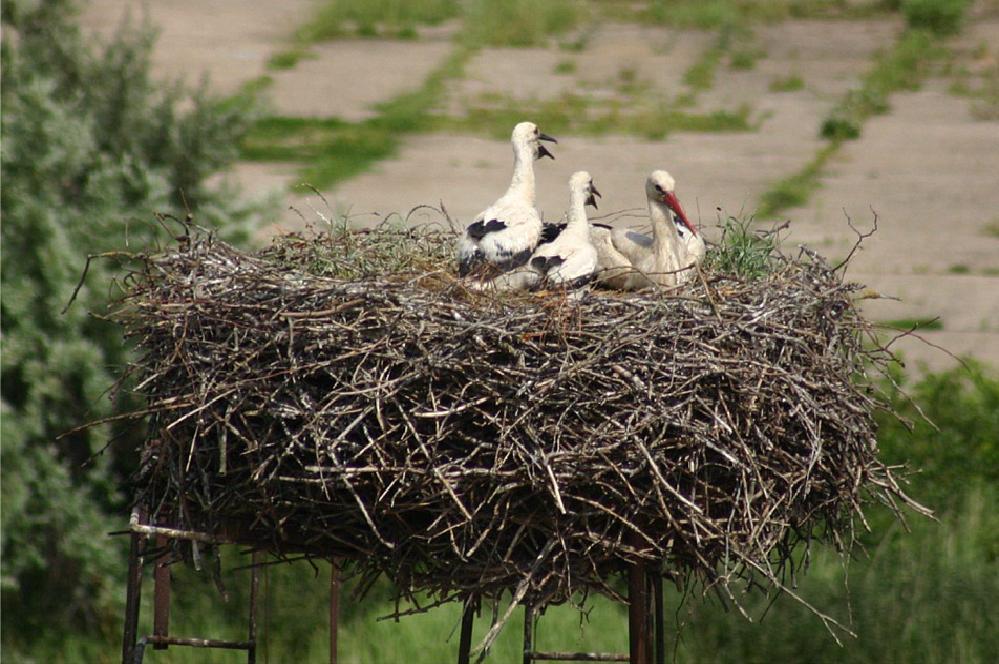 wir haben Hunger Storchnachwuchs in Göldenitz MV