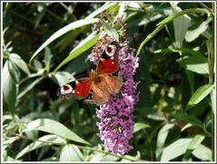 ... wir Schmetterlinge lieben den Sommerflieder...