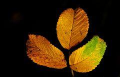 Wir sind nur drei Blätter, ...