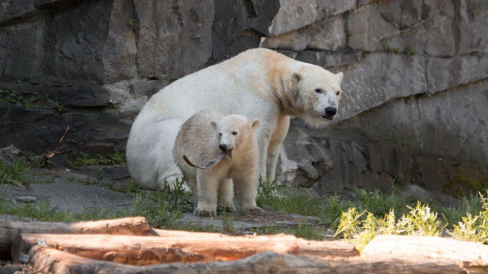 Wir wollen Die Eisbären sehen