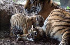 ... wirkliche kleine Tiger auf sanften Pfoten ...