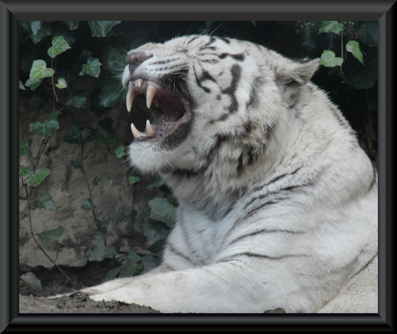 wite tiger
