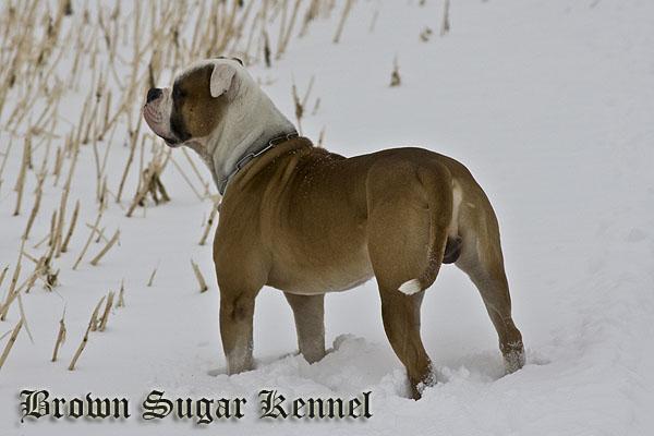 Wizzard ( American Bulldog)