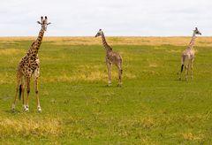 Wo geht es lang? Desorientierte Giraffen